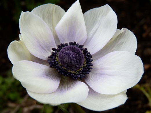 White Anemone.jpg